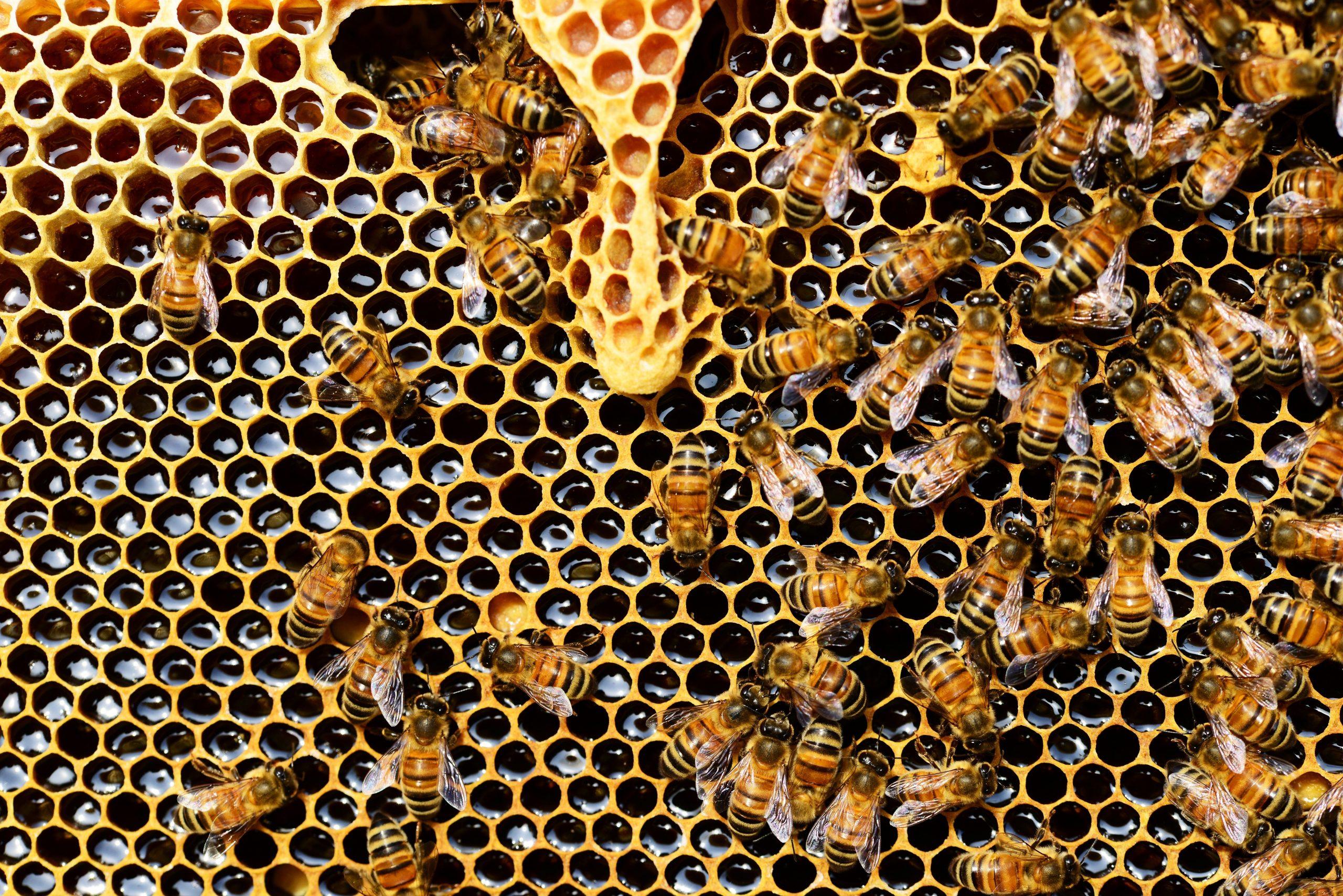Polline, miele, propoli e pappa reale. I doni delle api per rinforzare il sistema immunitario
